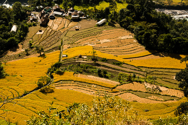 Terraced fields ready to harvest, Bahundanda
